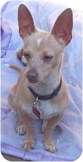 Chihuahua Mix Dog for adoption in Encinitas (San Diego), California - Chloe