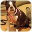 Photo 2 - Boston Terrier Dog for adoption in Lynnwood, Washington - Nutmeg