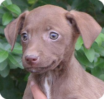 Chihuahua Mix Puppy for adoption in Allentown, Pennsylvania - Coco