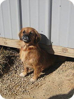 Pug/Pekingese Mix Dog for adoption in Florence, Indiana - Pheobe