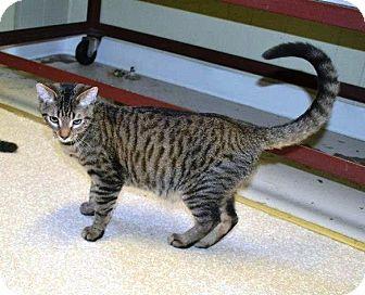Domestic Shorthair Kitten for adoption in Indianola, Iowa - C19 - Luke