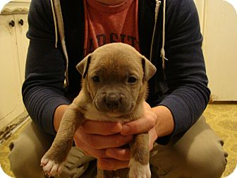 American Pit Bull Terrier Mix Puppy for adoption in Owasso, Oklahoma - Un- Named Puppy