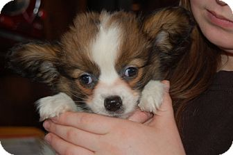 Papillon Mix Puppy for adoption in SLC, Utah - Robin