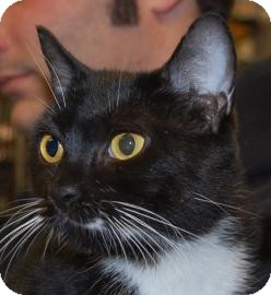 Domestic Shorthair Cat for adoption in Brooklyn, New York - Esther