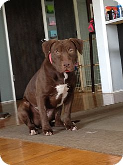 Labrador Retriever/American Pit Bull Terrier Mix Dog for adoption in Burbank, California - Piper LOVES DOGS, CATS, KIDS!!