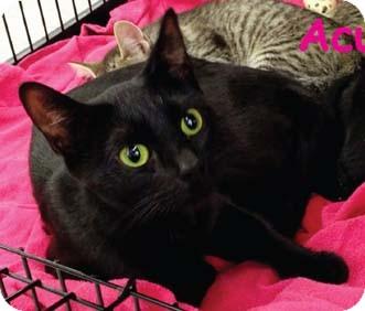 Domestic Shorthair Cat for adoption in Merrifield, Virginia - Acura
