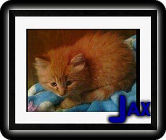 Domestic Shorthair Kitten for adoption in Washington, D.C. - Jax