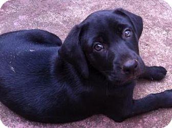 Labrador Retriever Mix Puppy for adoption in Gainesville, Florida - Shenanigan