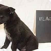 Adopt A Pet :: Blacky - Westminster, CO