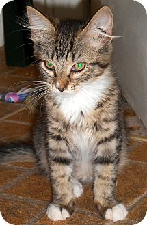 American Shorthair Kitten for adoption in Tampa, Florida - Jasmine
