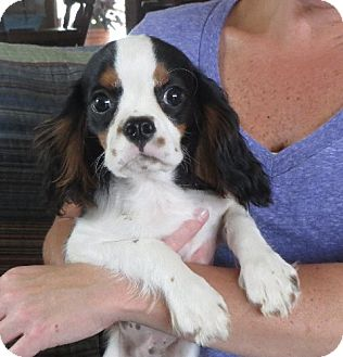 Cavalier King Charles Spaniel Puppy for adoption in Salem, New Hampshire - Finley