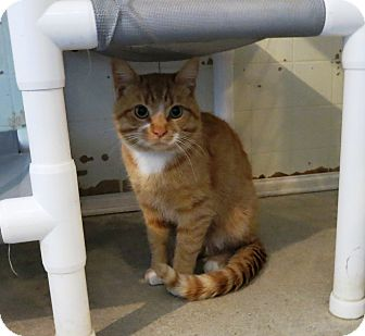 Domestic Shorthair Cat for adoption in Geneseo, Illinois - Goldy