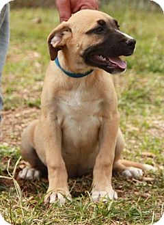 Labrador Retriever/Shepherd (Unknown Type) Mix Puppy for adoption in Hagerstown, Maryland - Maggie (CD)