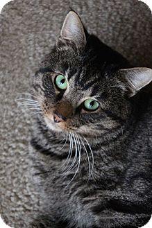 Domestic Shorthair Cat for adoption in Columbus, Ohio - Frankie