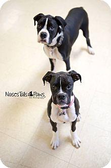Boxer Puppy for adoption in Salem, Oregon - Bear