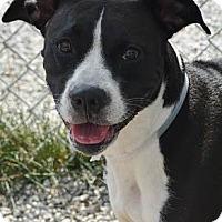 Adopt A Pet :: Samantha Jane - Athens, GA