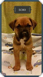 Rhodesian Ridgeback/Black Mouth Cur Mix Puppy for adoption in Von Ormy, Texas - Echo