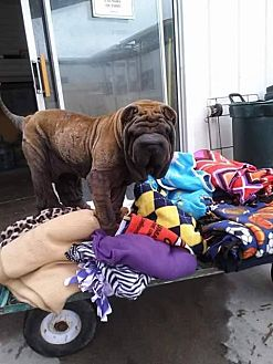 Shar Pei Dog for adoption in Midway City, California - Suki