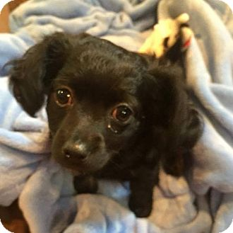 Poodle (Standard)/Chihuahua Mix Puppy for adoption in South San Francisco, California - Yankee Doodle