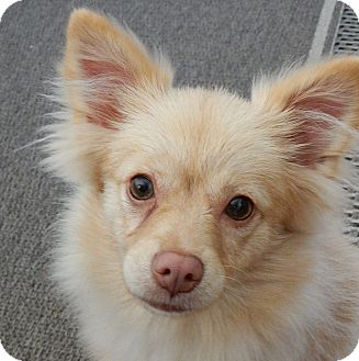 Pomeranian Mix Puppy for adoption in Long Beach, New York - Ivory