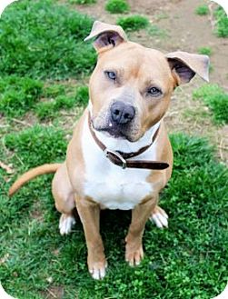Pit Bull Terrier Mix Dog for adoption in Proctorville, Ohio, Ohio - Rush