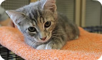 Calico Kitten for adoption in Las Vegas, Nevada - DOLLY