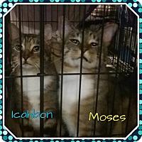 Adopt A Pet :: Moses - Cedar Springs, MI