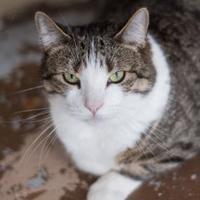 Adopt A Pet :: Cora - Bradenton, FL