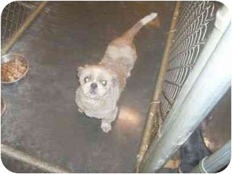 Shih Tzu Dog for adoption in Higginsville, Missouri - Rocky