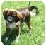 Photo 1 - King Charles Spaniel/English Toy Spaniel Mix Dog for adoption in Muldrow, Oklahoma - REX