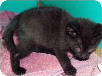 Domestic Shorthair Kitten for adoption in Secaucus, New Jersey - Ashton