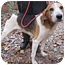 Photo 1 - Treeing Walker Coonhound Dog for adoption in Chesterfield, Virginia - Scott