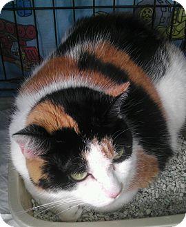 Calico Cat for adoption in Parkton, North Carolina - Mouser