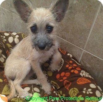 Terrier (Unknown Type, Small)/Chihuahua Mix Puppy for adoption in Oceanside, California - LIttle Lena
