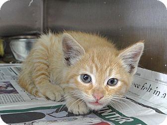 Domestic Shorthair Kitten for adoption in Hawthorne, California - Fred