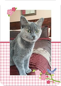 Russian Blue Cat for adoption in Taylor Mill, Kentucky - Velvet-DECLAWED