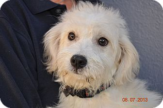 Maltese/Poodle (Miniature) Mix Puppy for adoption in burbank, California - River