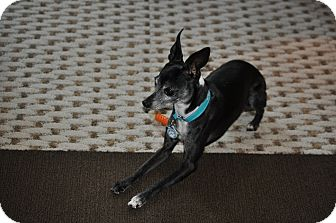 Italian Greyhound Dog for adoption in Argyle, Texas - Minka in Austin Area