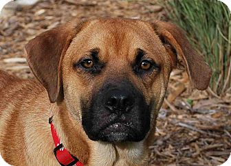 Mastiff/Labrador Retriever Mix Dog for adoption in Loudonville, New York - Motor