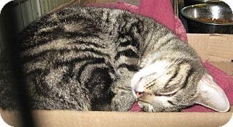 Domestic Shorthair Cat for adoption in Stillwater, Oklahoma - Cutie