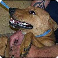 Adopt A Pet :: Cowboy - Richmond, VA