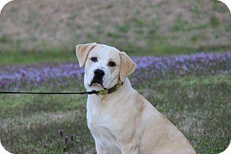Boxer/Labrador Retriever Mix Dog for adoption in Waterbury, Connecticut - Rocky