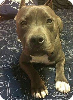 Pit Bull Terrier Dog for adoption in Sacramento, California - Cane