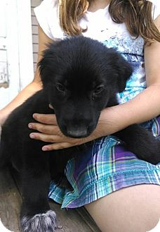 Labradoodle/Hound (Unknown Type) Mix Puppy for adoption in Kalamazoo, Michigan - Ulric - Jen