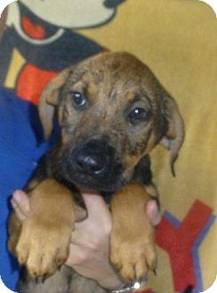 Great Pyrenees/Mastiff Mix Puppy for adoption in Oviedo, Florida - Titus