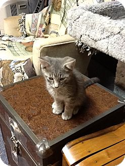 Domestic Shorthair Kitten for adoption in Fort Wayne, Indiana - Smokey