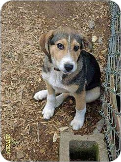 Husky/Beagle Mix Puppy for adoption in Portland, Maine - Shasta
