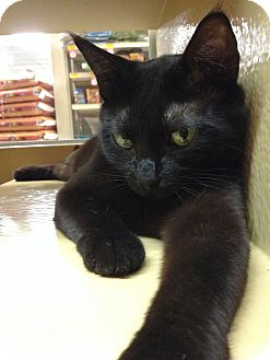 Domestic Shorthair Cat for adoption in Oakville, Ontario - Eclipse