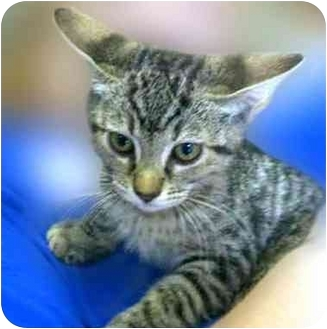 Domestic Shorthair Kitten for adoption in San Clemente, California - TECATE = Playful Kitten!