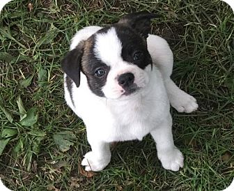 Boston Terrier/Pug Mix Puppy for adoption in Hastings, Minnesota - Angus
